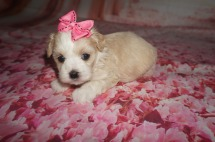Rose Female CKC Maltipoo $1750 Ready 8/15 HAS DEPOSIT MY NEW HOME SOUTH OZONE PARK , NY 1.3 lbs 4 Wks Old