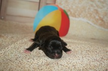 Royce Female CKC Malshipoo $1750 Ready 9/3 AVAILABLE 5.3 oz 4 Hours Old