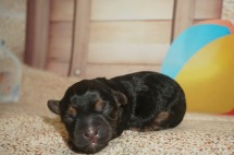 Siri Female CKC Morkie $1750 Ready 9/3 AVAILABLE 8.3 oz 30 Minutes Old