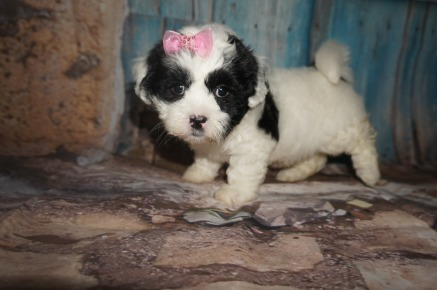 Sporty Spice Female Teddy Bear A/K/A Shichon $1750 Ready 8/8 SOLD MY NEW HOME SARASOTA, FL 3.2LBS 6w4d OLD