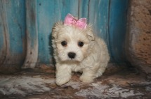 Violet Female CKC Maltipoo $1750 Ready 8/13 SOLD MY NEW HOME SOUTH OZONE PARK, NY 1.10lbs 6W old