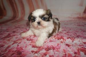 Imperial Shih Tzu Breeder Jacksonville Tlc Puppy Love