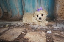 Daisey (Muffin) Female CKC Maltipoo $1750 Ready 8/13 SOLD MY NEW HOME JAX, FL 1.12lbs 6Wks old