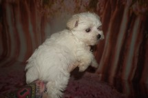 Dior Female CKC Morkie $2000 Discounted $1750 Ready 7/14 SOLD MY NEW HOME BRUNSWICK, GA 1.12 Lbs 8W2D Old