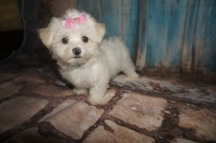 LoLo Female Havanese $1750 DISCOUNTED FOR INGUINAL HERNIA NOW $1250 Ready 7/20 AVAILABLE 1.15 lb 7W2D Old