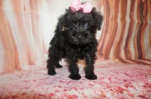Maggie Female CKC Schnoodle $1750 Ready 7/13 SOLD MY NEW HOME FERNANDINA, BCH, FL