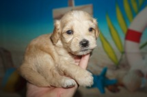 Nacho Pizza Male CKC Shihpoo $1750 Ready 8/3 AVAILABLE 1.4lbs 3wk2d old
