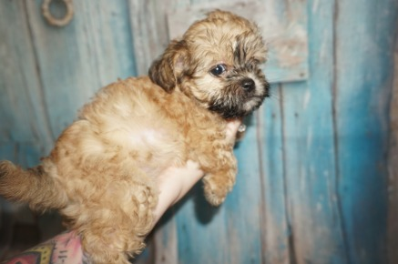Taco Male CKC Shihpoo $1750 Ready 8/3 SOLD MY NEW HOME TARPON SPS, FL 1.8LBS 7W2D OLD