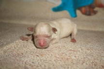Eudora Female CKC Shihpoo $1750 AVAILABLE 4.6 oz 1 Day Old