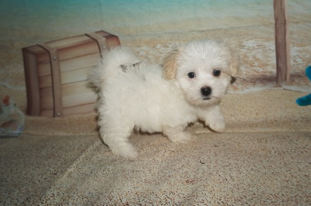 Hola (Riley) Female Havanese $1750 DISCOUNTED $1500 Ready 6/29 SOLD MY NEW HOME JACKSONVILLE, fl 2.2 lbs 8W2D Old