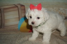 Lacey Female CKC Maltipoo $1750 Ready 7/11 SOLD MY NEW HOME PORT ORANGE, FL 2.1lbs 6wk4d old