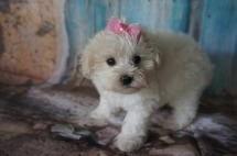 Melody (Lucy) Female CKC Maltipoo $1750 Ready 8/8 SOLD MY NEW HOME JACKSONVILLE, FL 1.13lbs 6W6D OLD