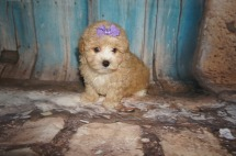 Mindy Female CKC Morkipoo $2000 Ready 8/8 SOLD MY NEW HOME JACKSONVILLE, FL 1.15LBS 6W4D OLD