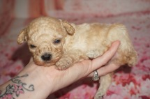Philly Male CKC Maltipoo $1750 Ready 8/20 AVAILABLE 12.4 oz 3Wks Old