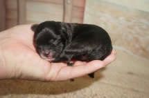 Porscha Female CKC Malshipoo $1750 Ready 9/3 HAS DEPOSIT MY NEW HOME JACKSONVILLE, FL 6.3 oz 3 Hours Old