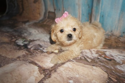 Spellbound Female CKC Havapoo $1750 Ready 8/2 SOLD MY NEW HOME GRANBURY, TX 1.10LBS 7W3D OLD