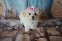 LoLo Female Havanese $1750 DISCOUNTED FOR INGUINAL HERNIA NOW $1250 Ready 7/20 SOLD! 2.5lbs 9W3D old
