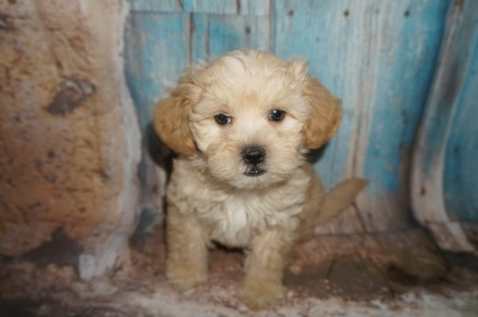 Nacho Pizza Male CKC Shihpoo $1750 Ready 8/3 SOLD MY NEW HOME ST JOHNS, FL 2.8LBS 7W2D OLD