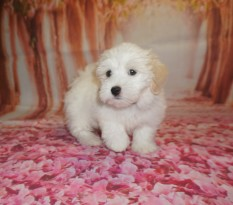 Nino Male Havanese $1750 Ready 6/29 SOLD MY NEW HOME ST AUGUSTINE, FL 10W2D old