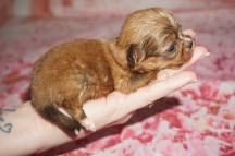 Romeo Male CKC Shihpoo $2000 Ready 8/17 HAS HOLD 5.3oz 3W old