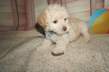 Honey Female CKC Maltipoo $1750 Ready 7/6 SOLD MY NEW HOME JACKSONVILLE, FL 2.1 LBS 7W1D Old