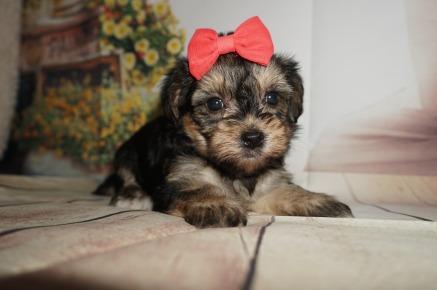 morkie breeder – TLC Puppy Love