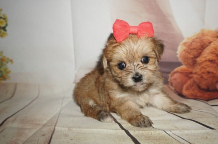 America Female CKC Shorkipoo $1750 Ready 9/5 SOLD MY NEW HOME JACKSONVILLE, FL 1.3LBS 4W4D OLD