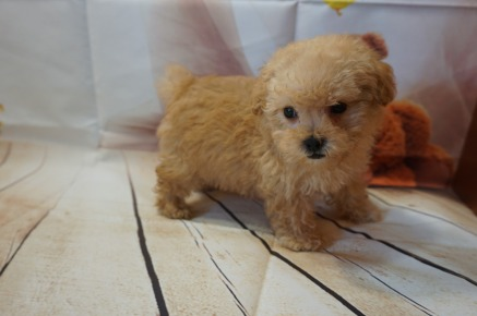 Bazooka Male CKC Toy Poodle $2000 JUST DISCOUNTED NOW $1750 Ready 8/15 SOLD MY NEW HOME ST MARYS, GA 1.8LBS 8WK OLD