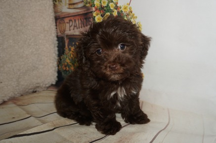Davy Male CKC Havamalt $2000 Ready 8/15 AVAILABLE 1.14lbs 8WK OLD