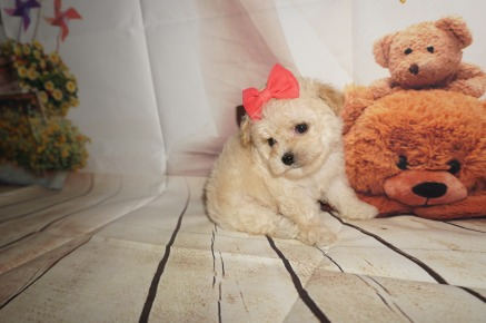 Eudora Female CKC Shihpoo $2000 SOLD MY NEW HOME IS IN MIAMI, FL Ready 8/30 1.1LBS 5W4D OLD