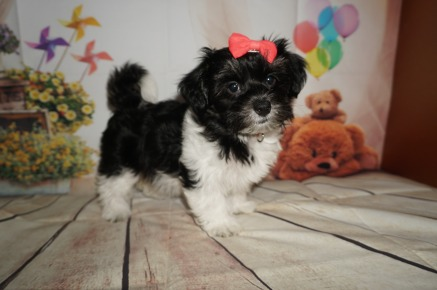 Heidi Female CKC Havashire a/k/a Yorkinese $1500 SOLD! MY NEW HOME IS IN LAKE CITY, FL!Ready 7/27 AVAILABLE 4LBS 10W3D OLD