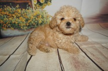 Hubba Bubba Male CKC Toy Poodle $2000 Ready 8/15 HAS DEPOSIT MY NEW HOME JACKSONVILLE, FL 1.7LBS 8WK OLD