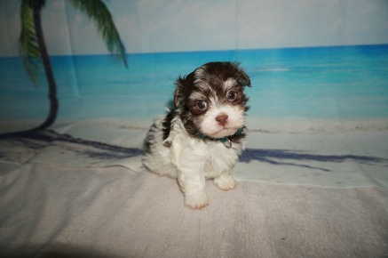 Jack (Mahalo) Male Havanese $1750 Ready 9/3 SOLD MY NEW HOME JACKSONVILLE, FL 1.10LB 5W OLD