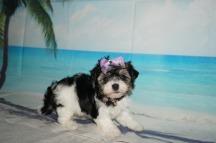 Jill (Pepper) Female Havanese $1750 Ready 9/3 SOLD MY NEW HOME JACKSONVILLE, FL 1.8LB 5W OLD