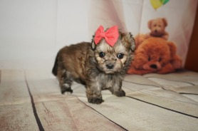 Lexus Female CKC Malshipoo $1750 Ready 9/3 AVAILABLE 1.2LBS 5WK OLD