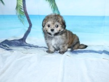 Lexus Female CKC Malshipoo $1750 Ready 9/3 SOLD MY NEW HOME JACKSONVILLE, FL ! 1.8LB 7W OLD