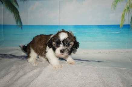 Linus Male CKC Havashu $1750 Ready 9/6 SOLD MY NEW HOME IS IN PONTE VEDRA, FL! 1.14LB 6W4D OLD