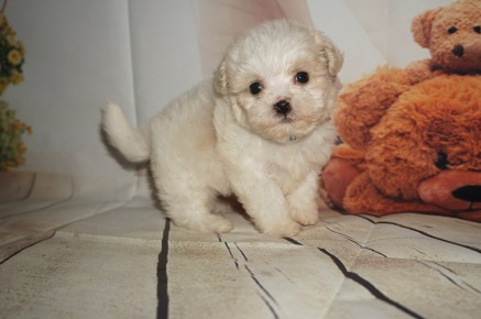 Louis (Peanut) Male CKC Shihpoo $1750 SOLD MY NEW HOME JACKSONVILLE, FL 1.1LBS 5W4D OLD