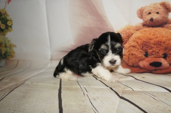 Luigi Male Havanese $1750 Ready 9/6 SOLD MY NEW HOME JACKSONVILLE, FL 1.7LBS 4W4D OLD