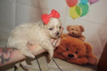 Macadamia Female CKC Shihpoo $1750 Ready 9/17 HAS DEPOSIT MY NEW HOME JACKSONVILLE, FL 1.2LBS 3W3D OLD