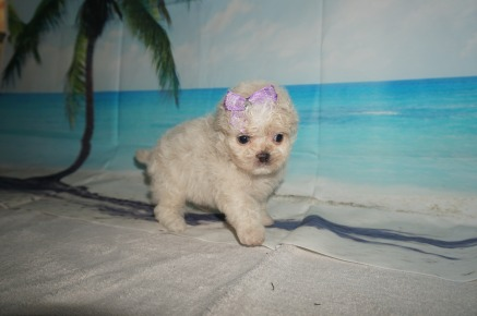 Macadamia Female CKC Malshipoo $2000 Ready 9/17 SOLD! MY NEW HOME JACKSONVILLE, FL 1.3LB 5W3D OLD