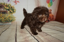 Mickey Male CKC Havamalt $2000 Ready 8/15 AVAILABLE 2.4LBS 8WK OLD