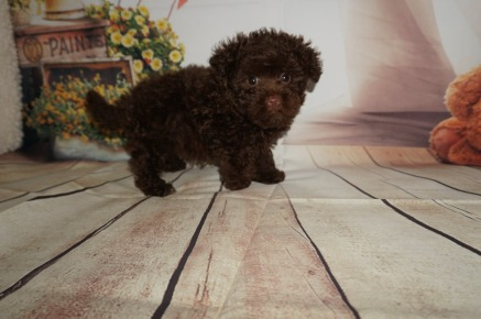 Mork Male CKC Morkipoo $2000 Ready 8/8 SOLD MY NEW HOME JACKSONVILLE, FL 1.13 LBS 8WK5D OLD