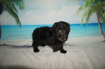 Mufasa Male CKC Schnoodle $1750 Ready 8/30 HAS DEPOSIT! MY NEW HOME IS INDIAN LAND, SC 3.3lbs 7w4d old