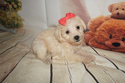 Nala Female CKC Schnoodle $1750 Ready 8/30 AVAILABLE 2LBS 5W3D OLD