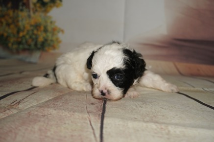 Oreo Male CKC Shihpoo $2000 Ready 9/17 AVAILABLE 14.7OZ 3W3D OLD
