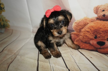 Pandora Female CKC Morkie $1750 Ready 9/3 SOLD MY NEW HOME JACKSONVILLE, FL 1.15LBS 5WK OLD