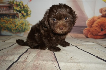 Peter Male CKC Havamalt $2000 JUST DISCOUNTED NOW $1750 Ready 8/15 AVAILABLE 2.3LBS 8WK OLD