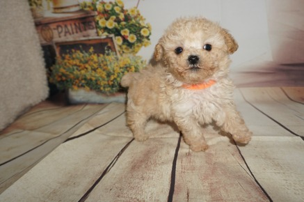 Philly Male CKC Maltipoo $1750 Ready 8/20 SOLD MY NEW HOME JAX, FL 1.3LBS 7WK OLD