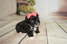 Porscha Female CKC Malshipoo $1750 Ready 9/3 HAS DEPOSIT MY NEW HOME JACKSONVILLE, FL 1.3LBS 5WK OLD